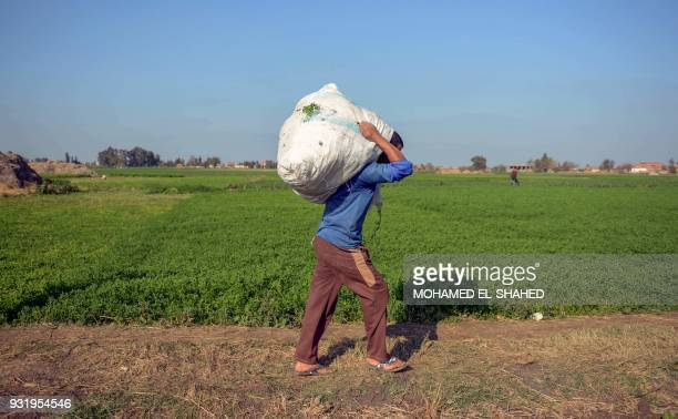 A man carries a sack on his shoulder as he walks past an alfalfa field in Egypt's village of Nagrig where Liverpool's top scorer Mohamed Salah was...