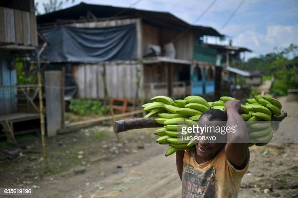 A man carries bananas in Pie de Pato department of Choco western Colombia on January 24 2017 Despite the peace deal signed by the Colombian...