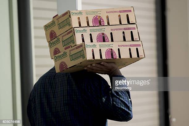 A man carries flats of raspberries outside a greenhouse at the Driscoll's Inc facility on the Cassin Ranch in Watsonville California US on Monday...