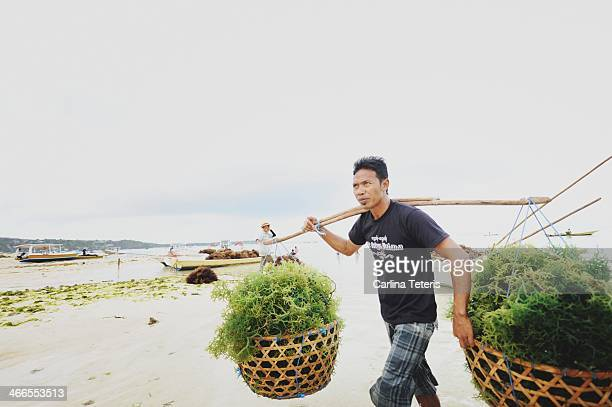CONTENT] A man carries two heavy baskets of freshly harvested seaweed on his shoulders up the beach from low tide seaweed farms on off a tropical...