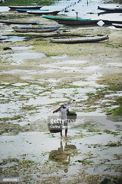 CONTENT] A man carries two large baskets of freshly harvested seaweed from a farm on muddy tidal flats between Nusa Ceningan and Nusa Lembonga Bali...