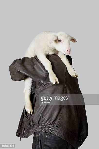 A man carrying a lamb on his shoulder, rear view, studio shot