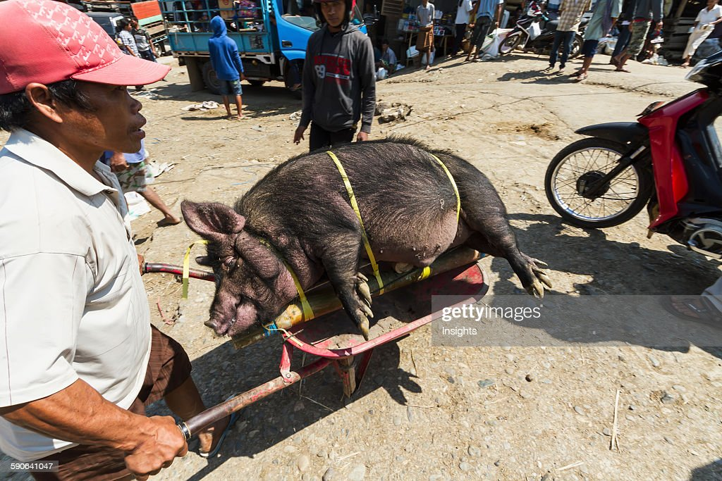 Man carrying a pig tied to bamboo sticks at the Bolu livestock market. : News Photo