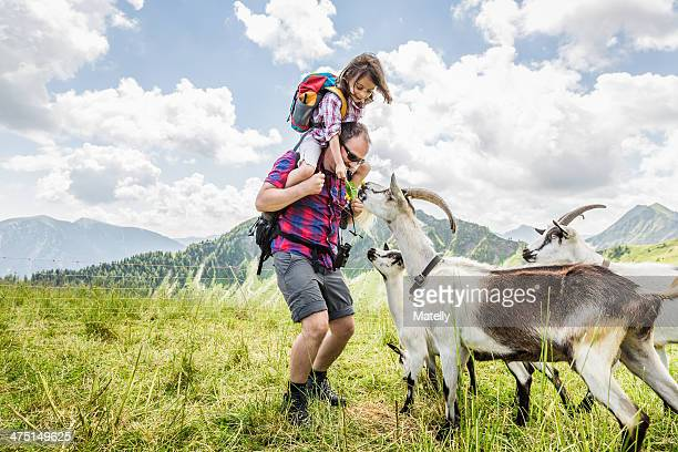 man carrying daughter, looking at goats - austria stock photos and pictures