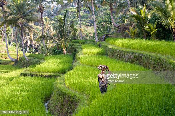 Man carrying firewood and coconuts through rice paddies