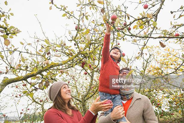 Man carrying his son on shoulder for picking apples from tree in an apple orchard, Bavaria, Germany