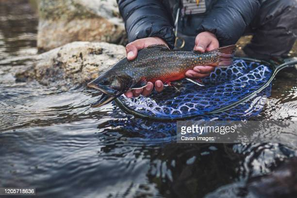 a man catches a brook trout during a cold morning in maine. - brown trout stock pictures, royalty-free photos & images