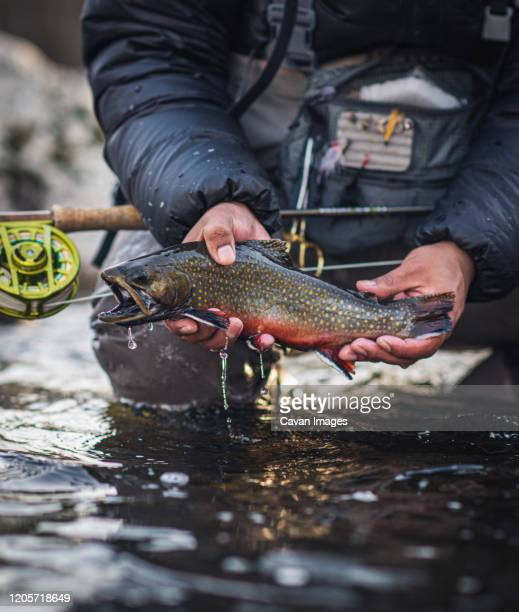 a man catches a brook trout during a cold morning in maine - brown trout stock pictures, royalty-free photos & images