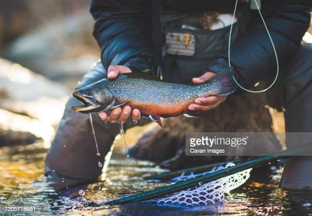 a man catches a large brook trout on a river in maine. - brown trout stock pictures, royalty-free photos & images
