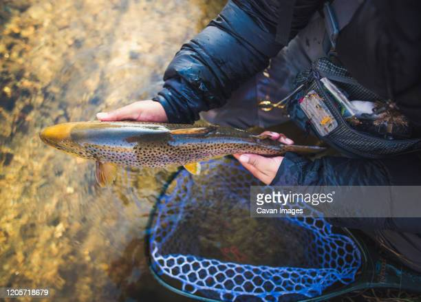 a man catches a large brown trout on a river in maine - brown trout stock pictures, royalty-free photos & images