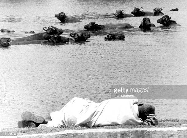 A man catches some sleep as his herd of cattle cools off in a pond by a small town in Haryana India September 121991