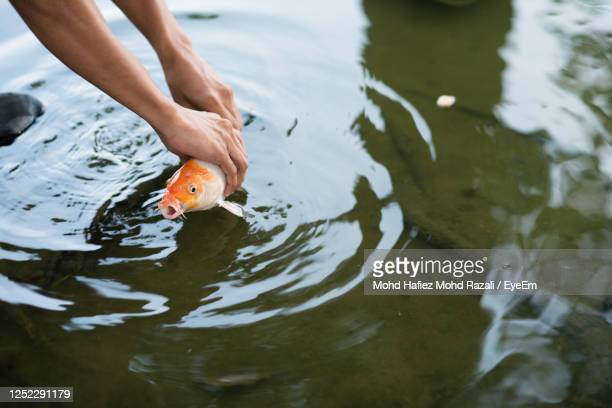 man catching or releasing koi or carp fish into a pond hoping for luck - one animal stock pictures, royalty-free photos & images