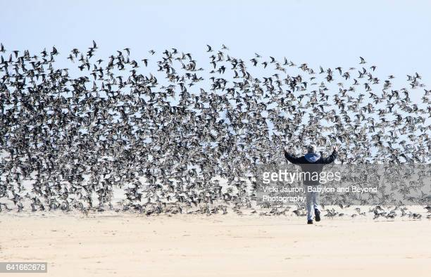 Man Causing Commotion with Dunlin