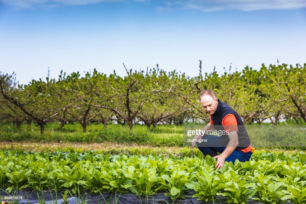 Mann überprüfen Salat Sämlinge : Stock-Foto