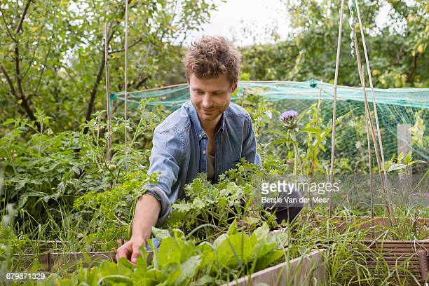 Man checking vegetables growing in allotment.
