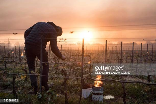 Man checks vine buds during the burning of anti-frost candles in the Luneau-Papin wine vineyard in Le Landreau, near Nantes, western France, on April...