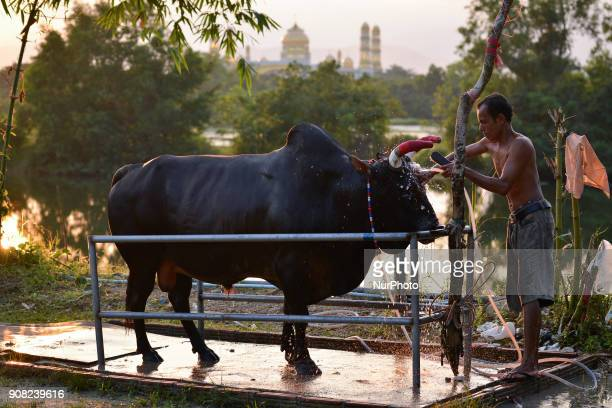 A man clean up fighting bull their prepares his bull for a bullfight in Nakhon Si Thammarat Province Thailand on January 20 2018 Bullfighting is a...