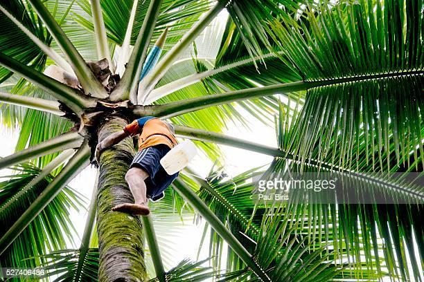 man climbing a palm tree to collect coconuts - fruit exotique photos et images de collection