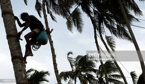 A man climbs a coconut tree to collect sap from a Palmyra/Coconut Palm Tree to make Palm Wine or Toddy as it is locally known on May 27 2012 in...