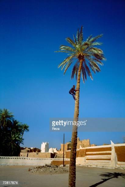 A man climbs up a palm tree April 2000 in Ghadames Libya