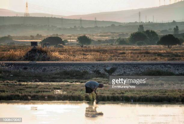 man collecting seaweeds at dawn. - emreturanphoto stock pictures, royalty-free photos & images