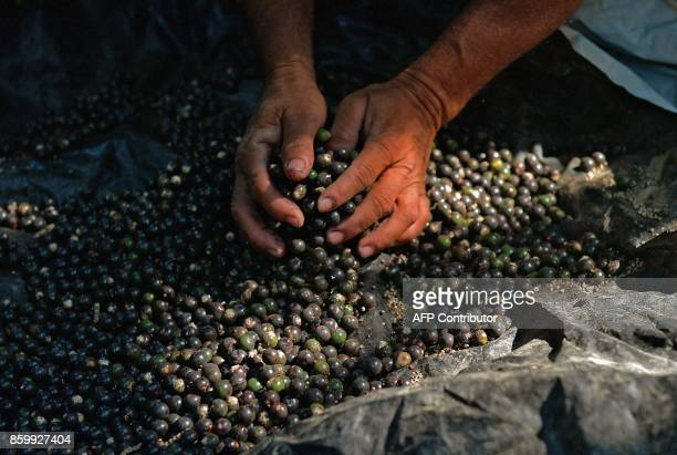 A man collects acai in the Ituxi reserve near the village of Volta do Bucho in the Western Amazon region on September 17 2017 Remote communities in...