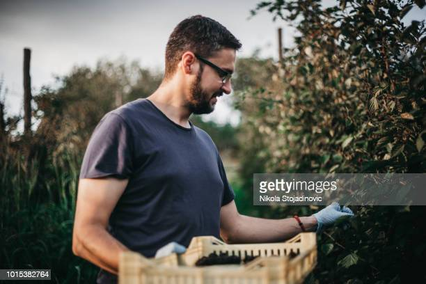 man collects berries - juicy stock photos and pictures