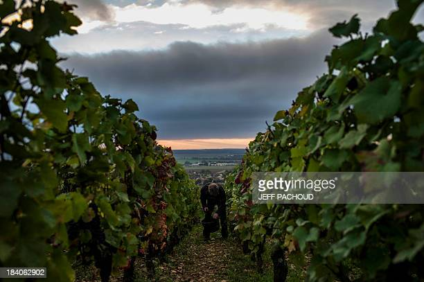 A man collects grapes in Faiveley in NuitsSaintGeorges during the harvest period on October 7 2013 AFP PHOTO / JEFF PACHOUD