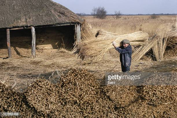 A man collects reeds for the use in thatched roofs in the rural village of Ranworth Norfolk March 1970 Thatching is big business and reeds are often...