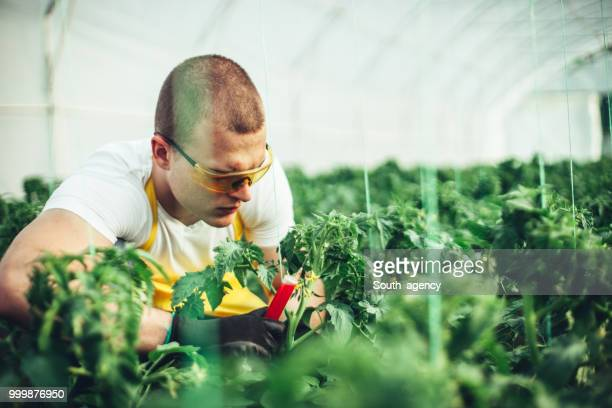 Man conducts experiments on a plants in a greenhouse