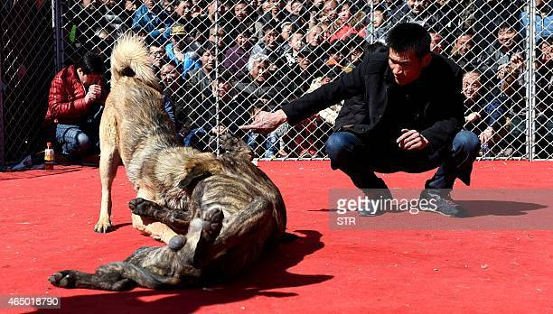 A man counts down as two dogs fight during a dogfight contest in Zezhang township in Yuncheng north China's Shanxi province to mark the lantern...