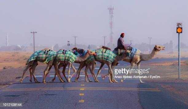 man crossing road with camels against sky - emirate of sharjah stock pictures, royalty-free photos & images