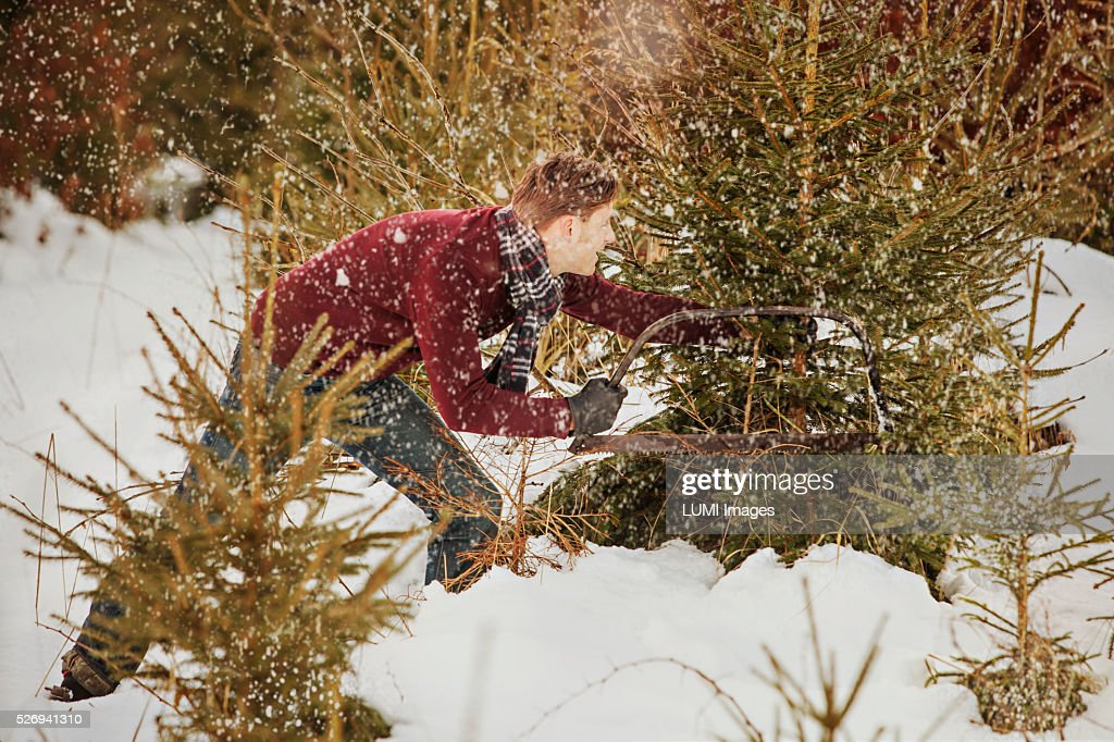 Man cutting a Christmas tree in the forest, Bavaria, Germany : Stock Photo