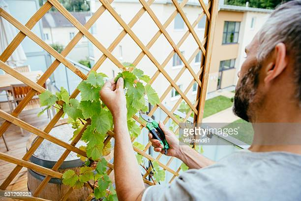 Man cutting grapevine on his balcony