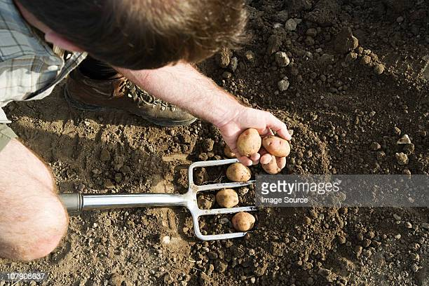 man digging potatoes with fork - harvesting stock pictures, royalty-free photos & images