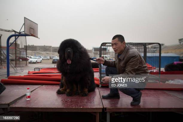 60 Top Tibetan Mastiff Pictures, Photos, & Images - Getty Images