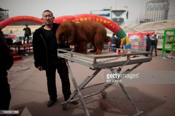 A man displays a Tibetan mastiff dog for sale at a show in Baoding Hebei province south of Beijing on March 9 2013 Fetching prices up to around...