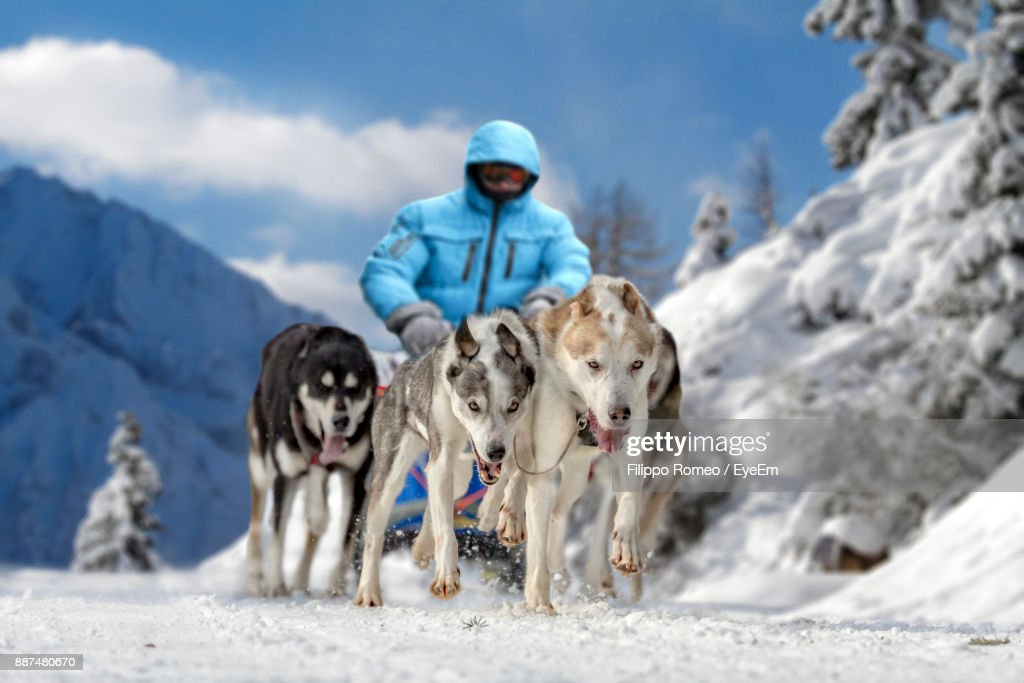 Man Dogsledding On Snow Covered Field : Stock Photo