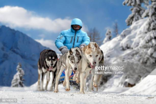 Man Dogsledding On Snow Covered Field