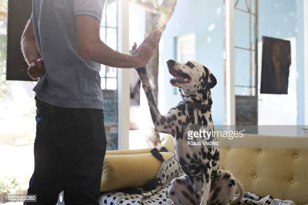 man doing high five with his dalmatian dog - high five stock-fotos und bilder
