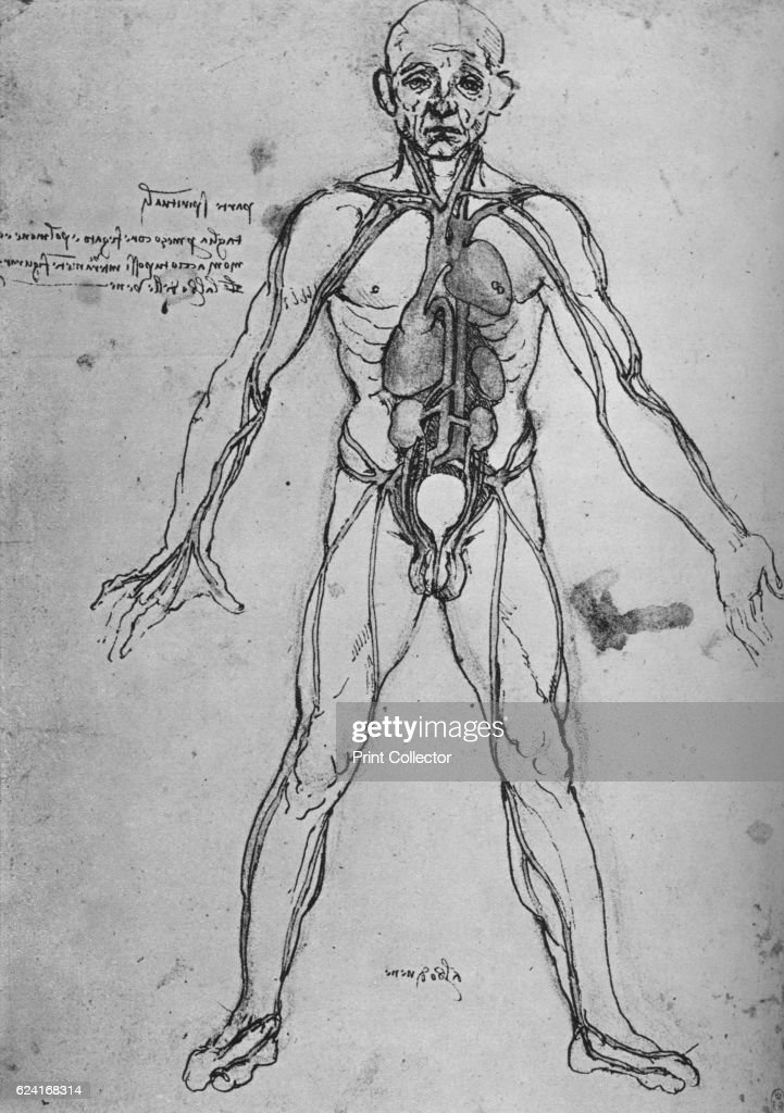 Man Drawn as an Anatomical Figure to Show the Heart, Lungs and Main ...