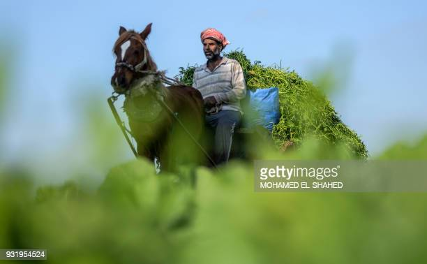A man drives a horsedrawn cart loaded with alfalfa past a field in Egypt's village of Nagrig where Liverpool's top scorer Mohamed Salah was born and...