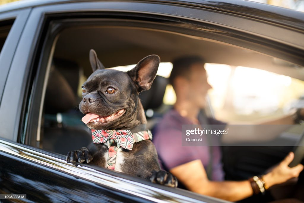 man driving with his dog : Stock Photo