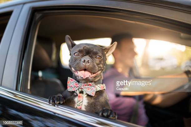man driving with his dog - french bulldog stock pictures, royalty-free photos & images