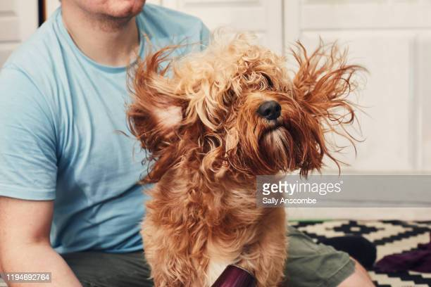 man drying his pet dog after a bath - groom stock pictures, royalty-free photos & images