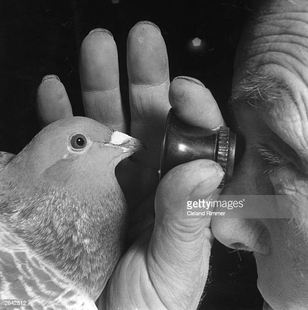 Man examines a pigeon very closely at a pigeon show in London.