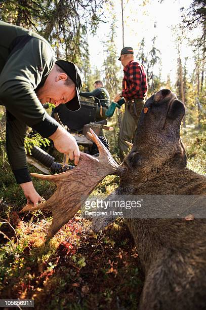 Man examining dead moose in forest