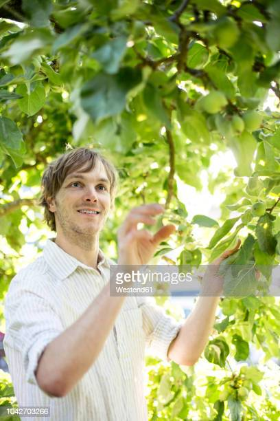 man examining green apples on apple tree - unripe stock pictures, royalty-free photos & images