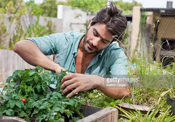 man examining tomato plant on his terrace - green fingers stock pictures, royalty-free photos & images
