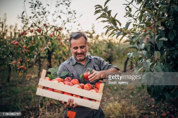 man farmer picking up apples in fruit orchard - harvesting stock pictures, royalty-free photos & images